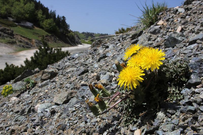 Taraxacum pindicola, partially serpentine, Kataras Pass 1690m, N of Metsovo