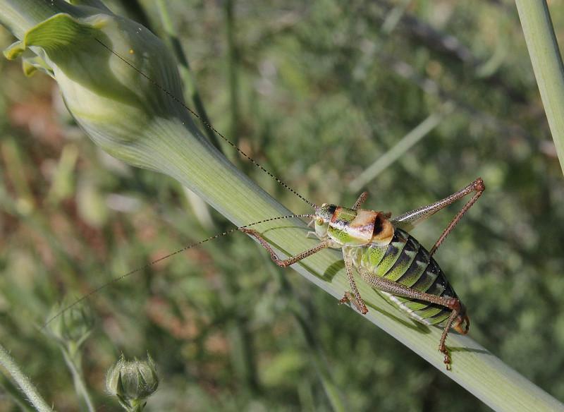 Nymph of a grasshopper, Delphi-Kroki, Above geological site