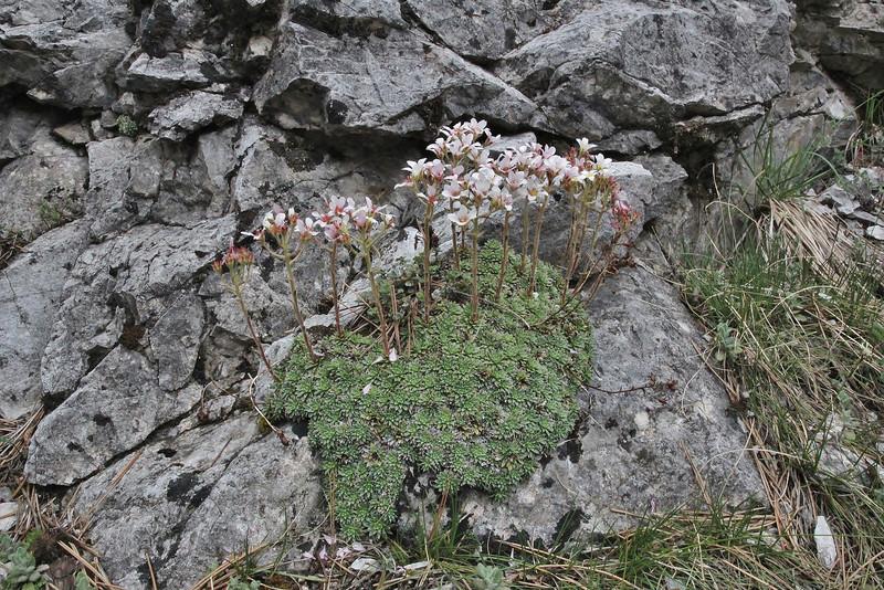 Saxifraga scardica, Prionia-Refuge A, Mount Olympus (M), Olympus NP