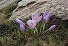 Crocus sieberi, Kajmaktcalan, 2521m, near the Macedonian border (L)