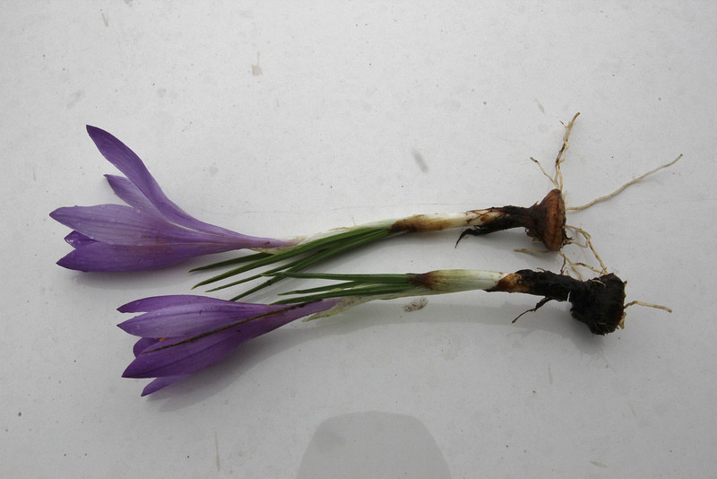 corm of Crocus pelistericus, (only for ID purpose), Kajmaktcalan, 2521m, near the Macedonian border (L)