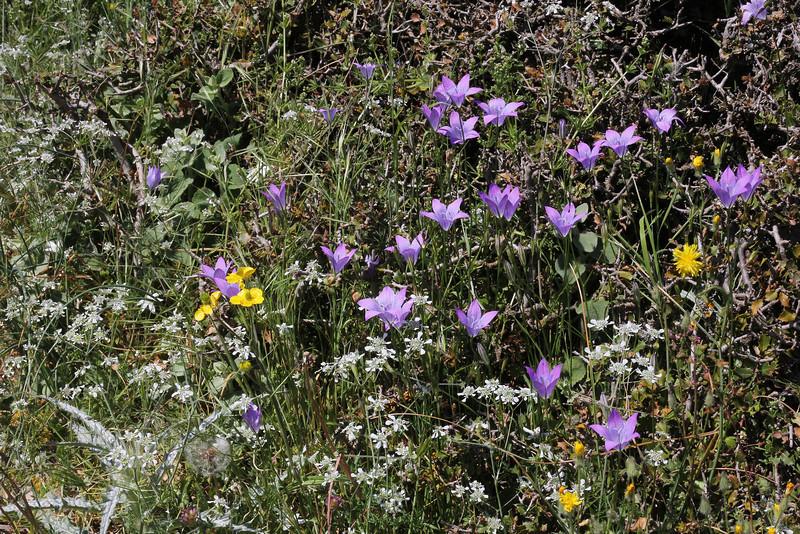 Campanula spatulata ssp. spatulata, 1100m, S of Livadia Plain