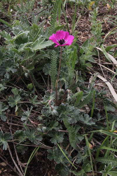 Geranium subcaulescens, 1000m, Kajmaktcalan, 2521m, near the Macedonian border (L)