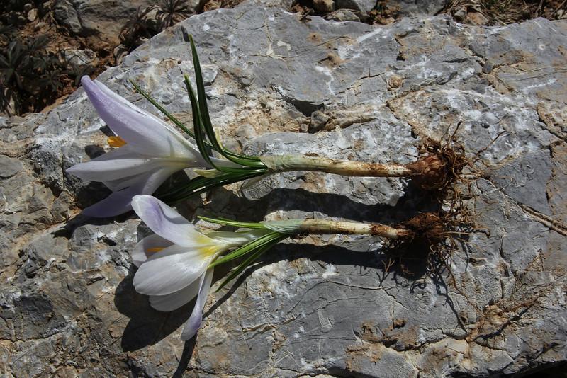 corm of Crocus sieberi ssp. sublimis, (only for ID purpose), Parnassos 2457m