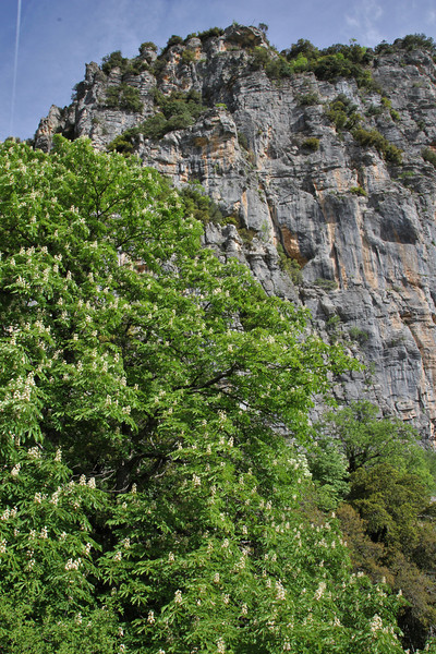 Aesculus hippocastanum, native in ravine woodland, Monastery at Monondendri, Vikos Gorge