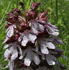 Orchis purpurea, Siatista-Veria