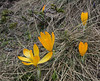 Crocus cvijcii, 1920m, Mount Vermion 2052m (K)