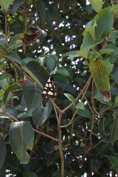 Euplagia quadripunctaria, Jersey Tiger, (NL: vierpuntbeer), near Patra