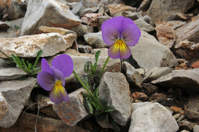 Viola aff. macedonica, Mount Vermion 2052m (K) NW of Naousa