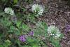 Trifolium pignantii, 920m, beneath Agios Dionysios  Monastery, Olympic NP