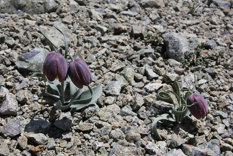 Fritillaria epirotica, (a serpentine endemic with twisted leaves), 1650m, 2km after snow plow station, Kataras pass 1690m