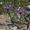 Centaurea pichleri, 1100m, S of Livadia Plain, Parnassos