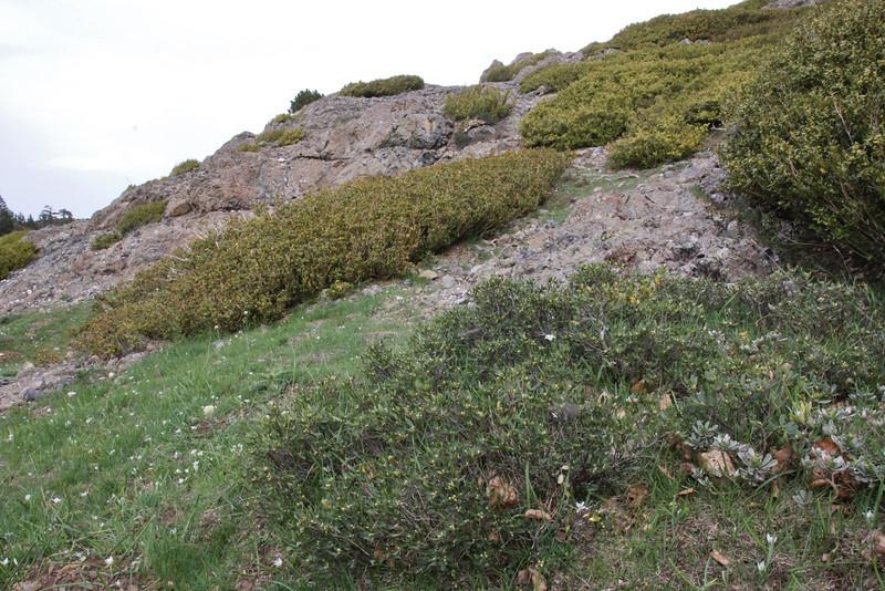 Daphne oleoides in bud, Kataras Pass 1690m, N of Metsovo