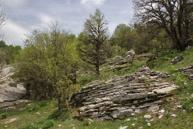 Ramonda serbica, limstone rocks near the Vikos Gorge, Monodendri-Kipi