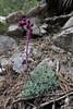 Saxifraga sempervivum, Prionia-Refuge A, Mount Olympus (M), Olympus NP