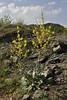 Verbascum graecum, Perdalofos, Konitsa-Siatista (H)