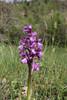 Orchis morio, near Konitsa
