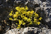 Sedum cf. acre, Delphi-Kroki, Above geological site