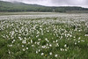 Narcissus poeticus, Mount Vermion 2052m (K)