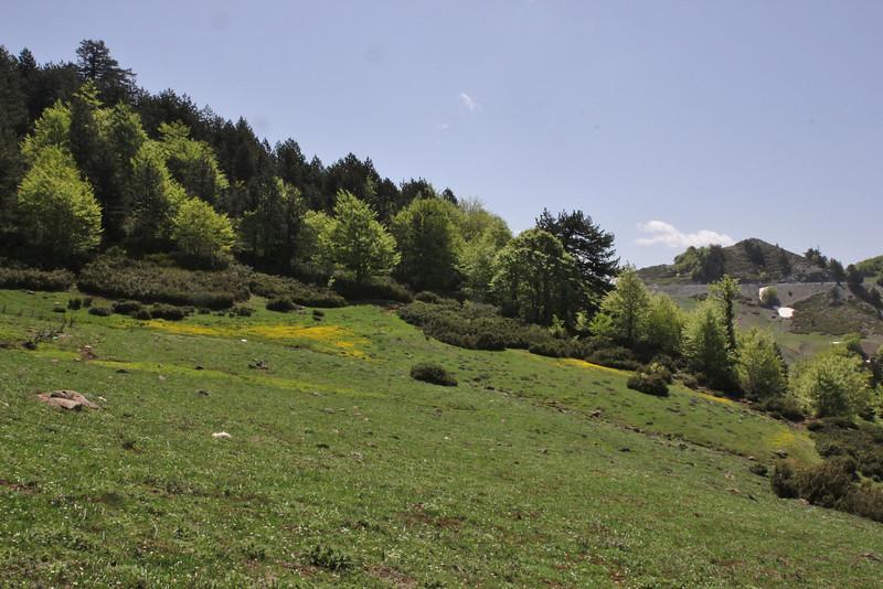 Daphne blagayana, 1670m, partially serpentine, Kataras Pass 1690m, N of Metsovo