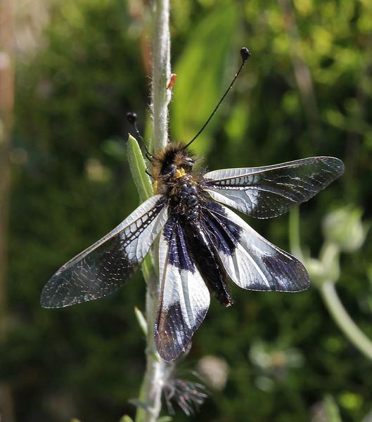 Ascalaphus libelluloides, (NL: vlinderhaft),Delphi-Kroki, Above geological site