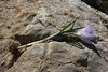 corm of Crocus sieberi ssp. sublimis,(only for ID purpose), Parnassos 2457m