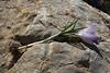 corm of Crocus sieberi ssp. sublimis,(only for ID purpose), Parnassos 2457m
