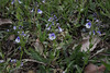 Veronica aff. serpyllifolia, Mount Vermion 2052m (K)