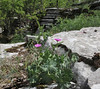Geranium cf. subcaulescens, limestone rocks, Monodendri-Kipi