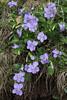 Viola aff. riviniana, Mount Vermion 2052m (K)