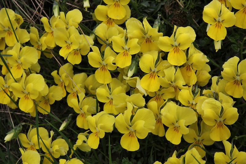 Viola dukadjinica