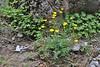 Ranunculus sartorianus, Prionia-Refuge A, Mount Olympus (M), Olympus NP
