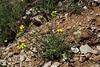Alyssum spec., Parnassos 2457m
