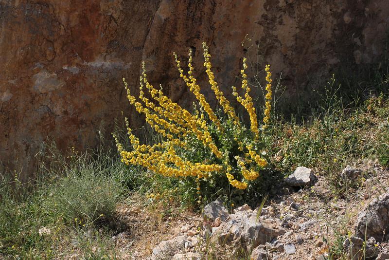 Verbascum undulatum, Delphi bypass