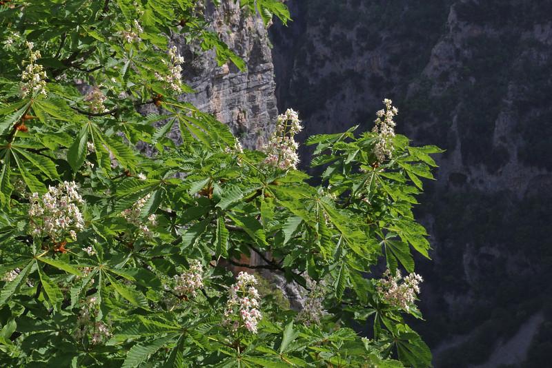 Aesculus hippocastanum, native in ravine woodland, Monastery at Monondendri, Vikos Gorge
