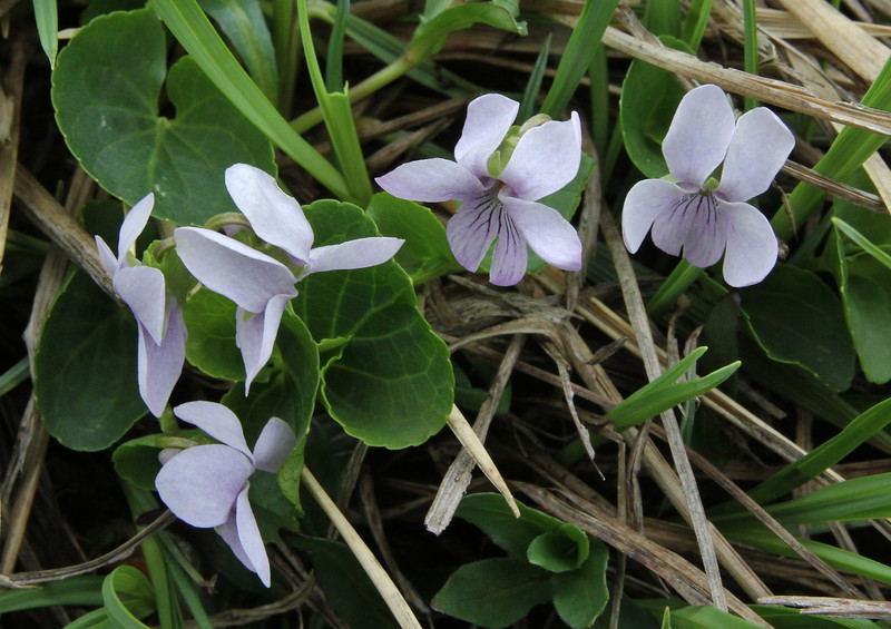 Probably Viola palustris, which is reported from bogs on Kajmaktcalan, 2000m, Kajmaktcalan, 2521m, near the Macedonian border (L)