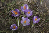 Crocus veluchensis, Kajmaktcalan, 2521m, near the Macedonian border (L)