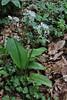Allium ursinum ssp. ucrainicum, (NL: daslook), Mount Vermion 2052m (K)