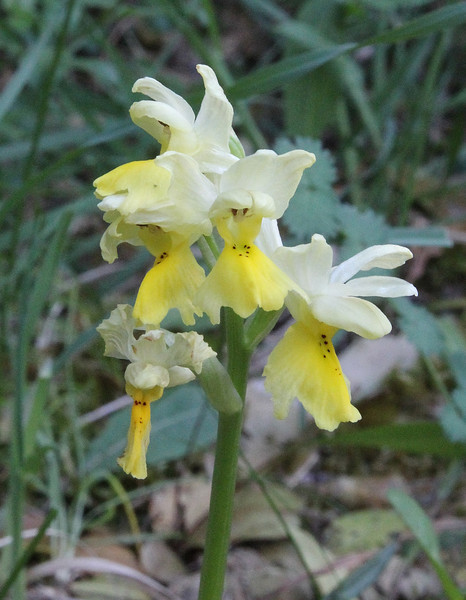 Orchis pauciflora, Kipi, Metsovon-Monodendri