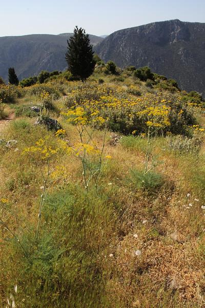 Ferulago nodosa, Delphi-Kroki, Above geological site