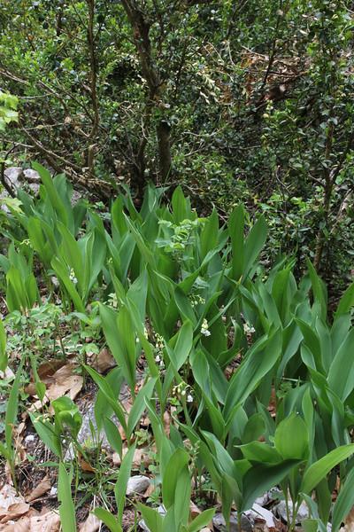 Convallaria majalis, Prionia-Refuge A, Mount Olympus (M), Olympus NP
