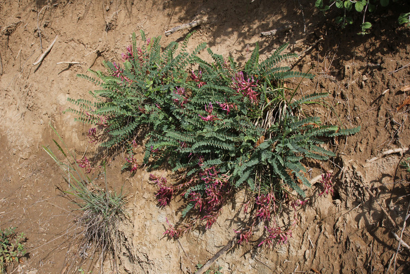 Astragalus monspessulanus, Perdalofos, Konitsa-Siatista (H)