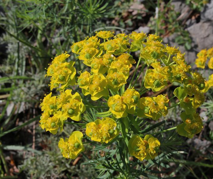 Euphorbia cyparissias, Perdalofos, Konitsa-Siatista (H)
