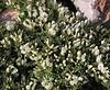 Astragalus angustifolius, 1100m, Livadia Plain, Parnassos 2457m