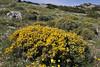 Genista parnassica (endemic spec. of Mt. Parnassos)1100m, S of Livadia Plain