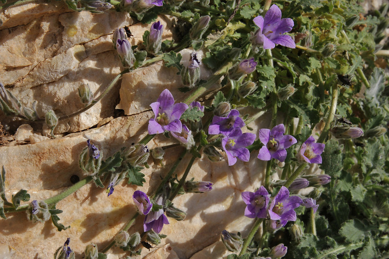 Campanula celsii , Mount Imittos 1026m, N of Athens