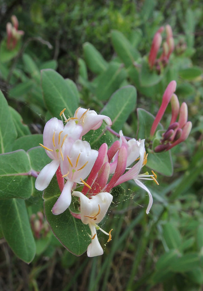 Lonicera implexa, Mount Imittos 1026m, N of Athens