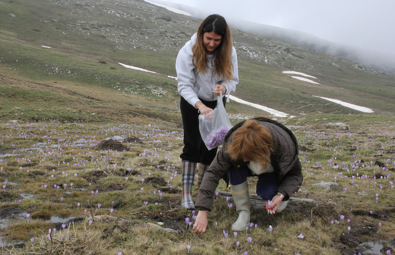 Local women collecting flowers (stamens) of Crocus veluchensis, Kajmaktcalan, 2521m, near the Macedonian border (L)
