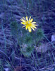 Adonia vernalis (Hayfields if Kis es Nagy Szenas)
