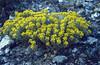 Alyssum montanum (Hayfields if Kis es Nagy Szenas)